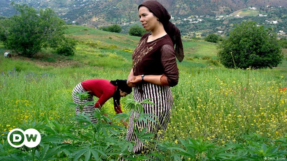"""""""لأغراض مشروعة"""".. المغرب يتجه إلى تقنين زراعة القنب الهندي"""