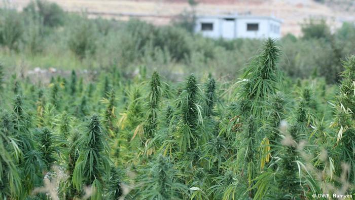 Cannabis im Libanon