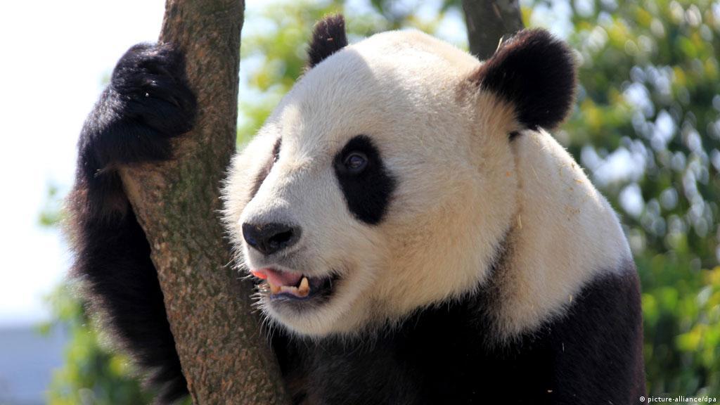 دراسة دب الباندا العملاق يعشق الحلوى منوعات نافذة Dw عربية على حياة المشاهير والأحداث الطريفة Dw 28 03 2014