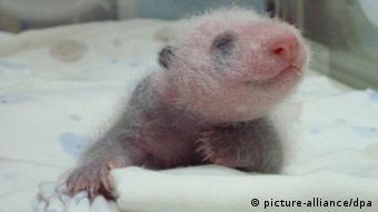 Bebé panda en el zoológico de Pekín.