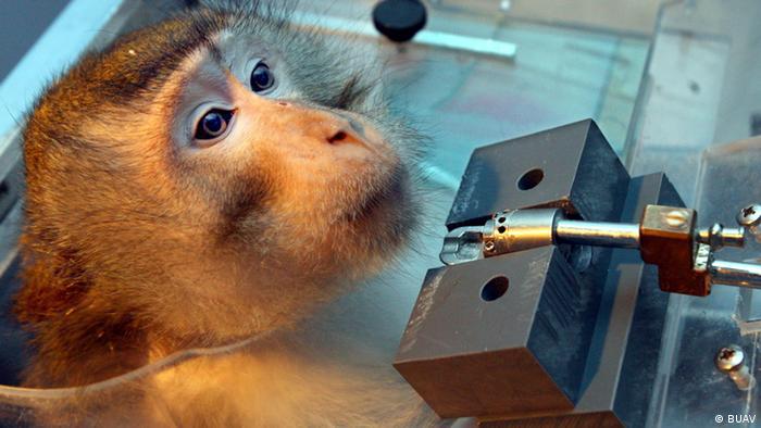 Macaco sendo testado no Instituto de Neurobiologia de Leibniz, em Magdeburg