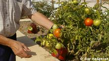 Title: SpainTrabensolVegetableGarden.JPG Description: A male resident of the Trabensol retirement cooperative in their garden Keywords: Spain, Madrid, Torremocha de Jarama, Trabensol, retirement home, pensioners, retirees, social safety net, economic crisis Name of the photographer/source: Guy Hedgecoe Date the pic was taken? December 2013 Where was the pic taken? Torremocha de Jarama