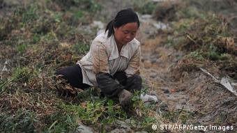 A Chinese farmer collects the vegetables growing along the dried up bank of the Chaohu lake, the fifth largest freshwater lake in China, as water levels remain low in Chaohu, east China's Anhui province on June 4, 2011.