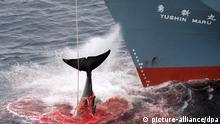 ARCHIV - Ein harpunierter Wal wird an Bord des japanischen Walfangschiffes «Yushin Maru» gezogen, das im Atlantischen Ozean kreuzt, aufgenommen am 07.01.2006. Japan steht wegen seines Walfangs vor dem internationalen Gerichtshof in den Haag. Der Prozess soll «ein für alle Mal feststellen, dass der japanische Walfang nicht wissenschaftlichen Zwecken dient sondern gegen internationales Recht verstößt», sagt Australiens Chefankläger Dreyfus. Foto: Greenpeace/Jeremy Sutton-Hibbert/dpa (zu dpa «Internationales Gericht entscheidet über Schicksal der Wale» vom 25.06.2013) ACHTUNG: Verwendung nur zu redaktionellen Zwecken und bei vollständiger Quellenangabe +++(c) dpa - Bildfunk+++