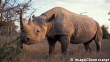 Bildnummer: 59389489 Datum: 27.02.2013 Copyright: imago/CHROMORANGE Africa, Kenya, Black Rhino PUBLICATIONxINxGERxSUIxONLY kbdig 2013 quer Afrika afrikanisch afrikanischer afrikanisches aggressiv agressivitaet agressivität anschauen ansehen anschaut ansieht angesehen angeschaut draussen ausserhalb außen außerhalb einzelne eine einzelner einzelnes gefahr gefahren gefährlich gefaehrlich risiko konzept konzepte horn hoerner hörner Kenia kenianisch Masai Mara National Park nationalpark nationalparks nashorn nashörner nashoerner naturpark naturparks naturschutzgebiet naturschutzgebiete niemand keiner säugetier saeugetier säugetiere saeugetiere savanne savannen grasland flachland ebene ebenen Spitzmaulnashorn diceros bicornis stärke staerke stark tag tageslicht faunan spezies gattung gattungen wilde wildes 59389489 Date 27 02 2013 Copyright Imago Africa Kenya Black Rhino Kbdig 2013 horizontal Africa African African African aggressive Aggressiveness Watching See looks at committed vist outside Outside exterior Outside Individuals a single single Danger Dangers dangerous dangerous Risk Concept Concepts Horn Hoerner Horns Kenya kenianisch Masai Mara National Park National Park National Parks Rhino Rhinos Rhinos Natural Park Nature parks Nature reserve Nature reserves Nobody None Mammal Mammal Mammals Mammals Savannah Savannas Grassland Lowlands Level Levels Black rhinoceros Diceros bicornis Strength strength strong Day Daylight Species Genus Genera wild wild