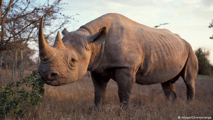 A black rhino stands in a field, grazing on a bush