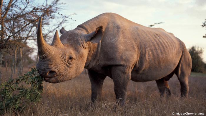 Black rhinoceros in Kenya