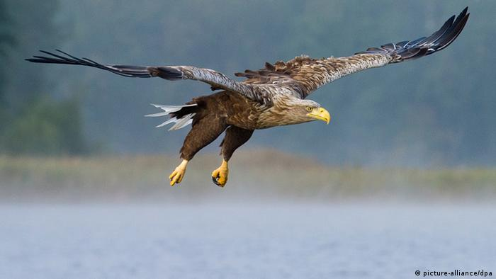 Deutschland Seeadler