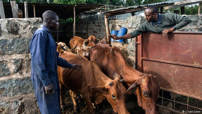 Francis Kimani tends to two large brown cows on his farm (Photo: Jeroen van Loon)