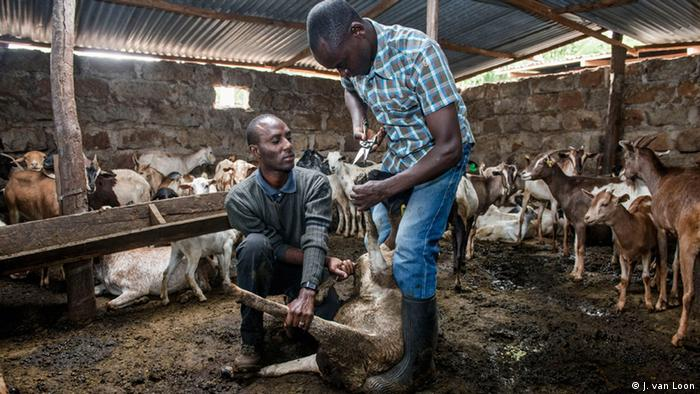 Two young farmers tend to goats in a shed in Kenya (Photo: Jeroen van Loon)