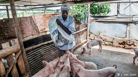 Joseph Macharia feeds pigs on his farm