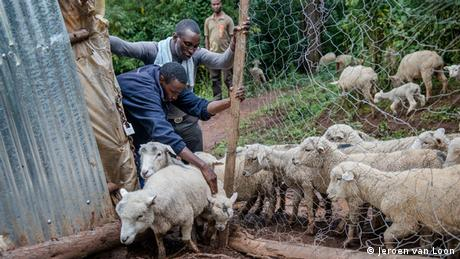 Young farmers in Kenya tend to sheep