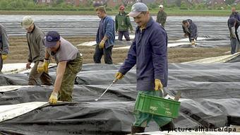 Polnische Arbeiter bei der Spargelernte (Foto: dpa)