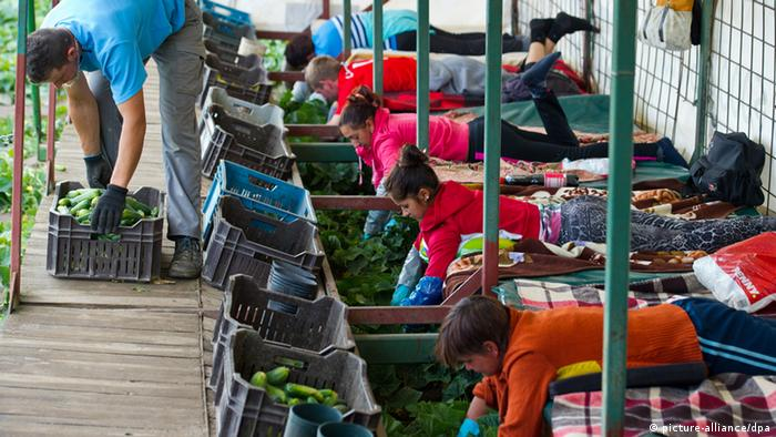 Polnische Arbeiter bei der Gurkenernte (Foto:dpa)