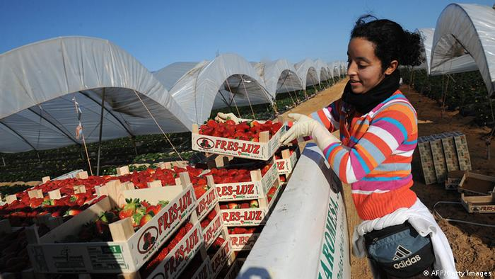 African workers in Spain for harvesting strawberries