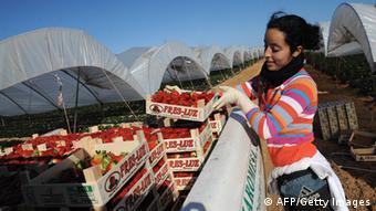 Afrikanische Arbeiter bei der Erdbeerernte in Spanien (Foto: afp/Getty Images)