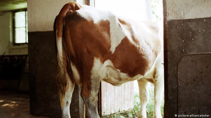 Symbolbild - Milchkuh
