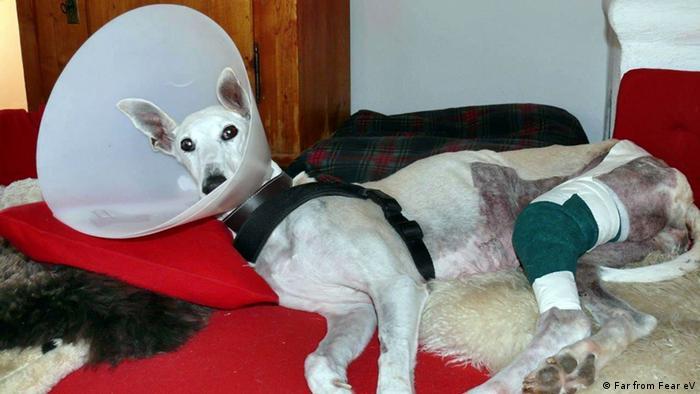 Algunos perros deben recibir atención médica para recuperse de las secuelas del maltrato y abandono.