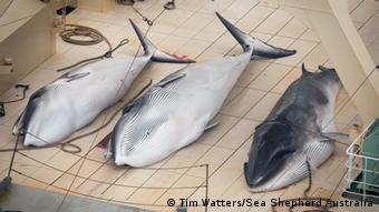 Three dead, protected Minke Whales on the deck of the Nisshin Maru, 05 January 2014.