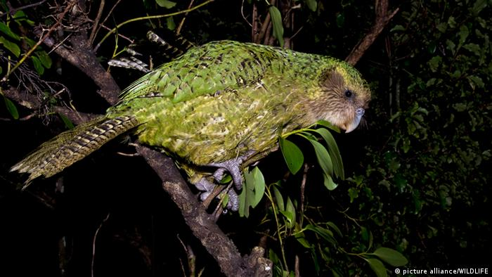 Kakapo Vogel (picture alliance/WILDLIFE)