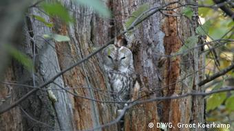 An owl hides in a tree, near Moscow