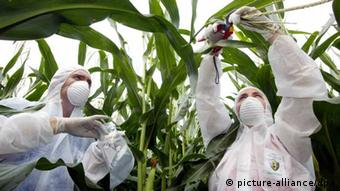 Two scientists in a maize field (photo: Heiko Meyer Greenpeace dpa)
