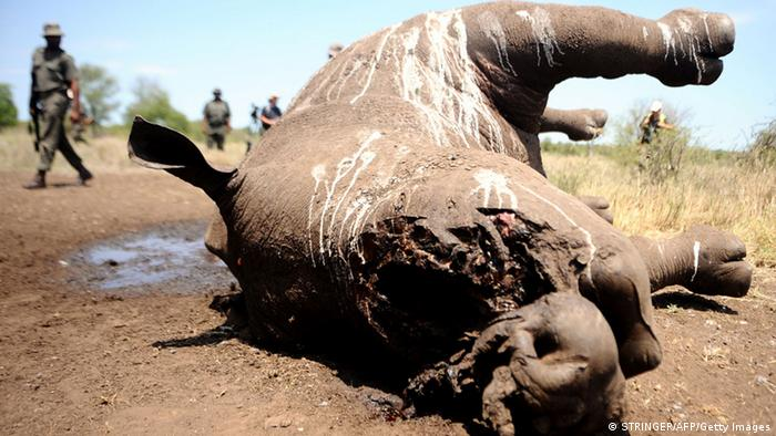 The carcass of a rhino in South Africa's Kruger National Park (STRINGER/AFP/Getty Images)