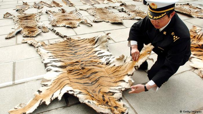 Lhasa Customs officer inspects a tiger skin (Getty Images)