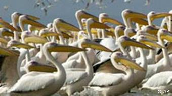 Pelicans stand in Manyas Lake near the village of Kiziksa, western Turkey