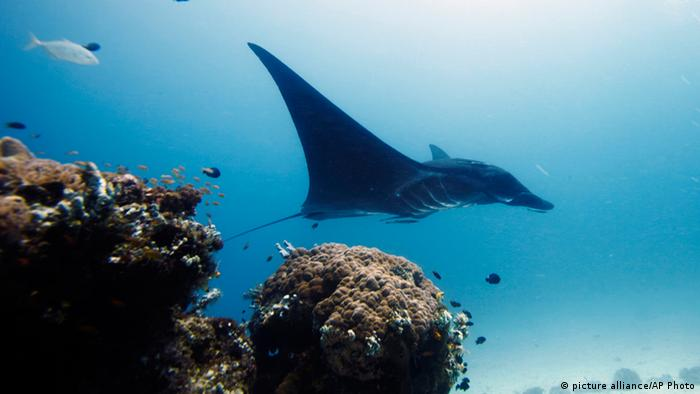Manta Rochen Raja Ampat Indonesien Archiv 2011 (picture alliance/AP Photo)