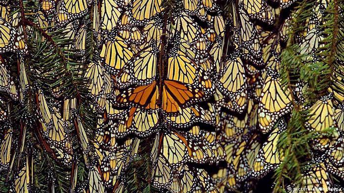 Monarchfalter Danaus plexippus auf einer Pinie im Naturschutzgebiet Piedra Herrada Mexiko