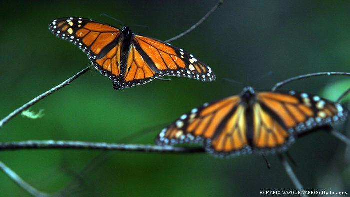 Monarchfalter Danaus plexippus Mexiko