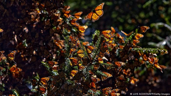 Monarchfalter Mexiko Schwarm