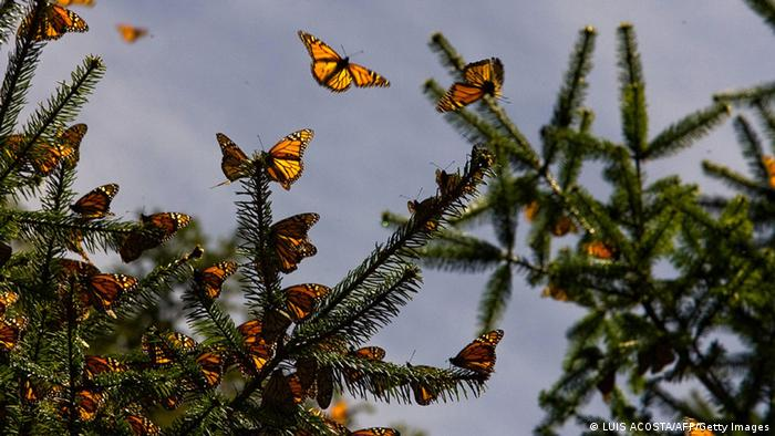 Monarch butterflies in the Oyamel forest at El Rosario sanctuary in Angangueo, Mexico (LUIS ACOSTA/AFP/Getty Images)