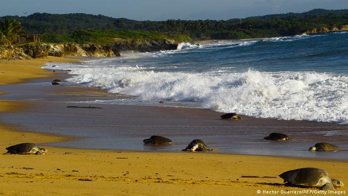 Olive Ridley Sea Turtles trudging along the beach on Mexico's pacific coast