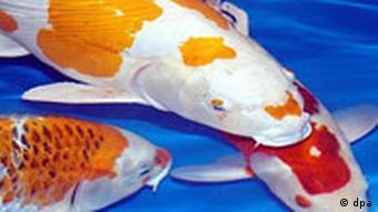 Koifisch, Koi-Fisch