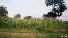 A small farm of maize