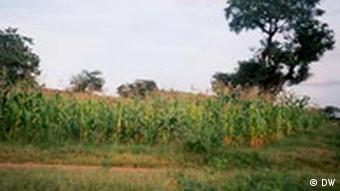 A smallholder maize farm in Africa