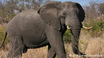 Afrikanischer Elefant (picture-alliance/dpa)