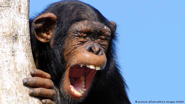 Gähnender Schimpanse
