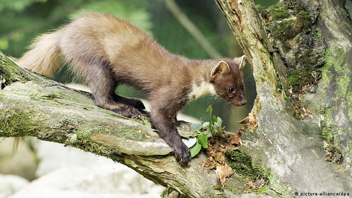 A pine marten in the branches