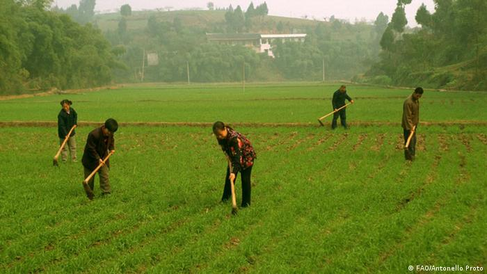 Farm family working in a field of rice that has been cultivated using new technologies (Photo: ©FAO/Antonello Proto)
