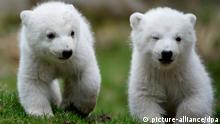 Doi pui de urs polar, în lumina reflectoarelor