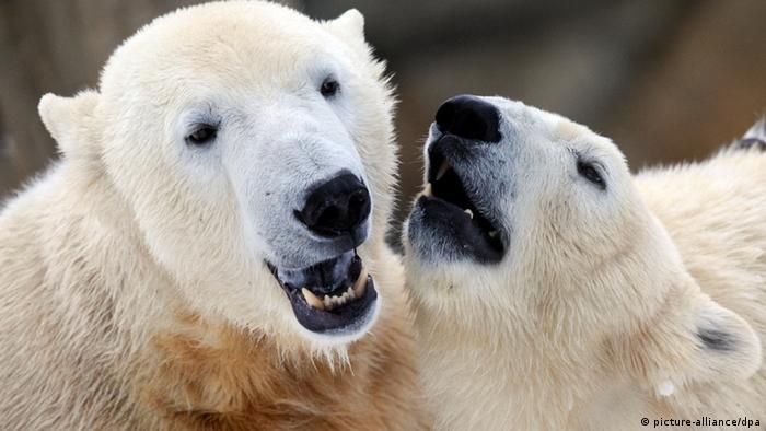 Eisbär Knut mit Gefährtin Giovanna Zoo Berlin