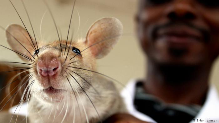 rat up close, man's face in the background