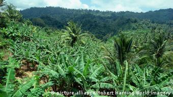 Η μονοκαλλιέργεια τηςCavendish θα πρέπει να αντικατασταθεί από άλλες ποικιλίες μπανάνας