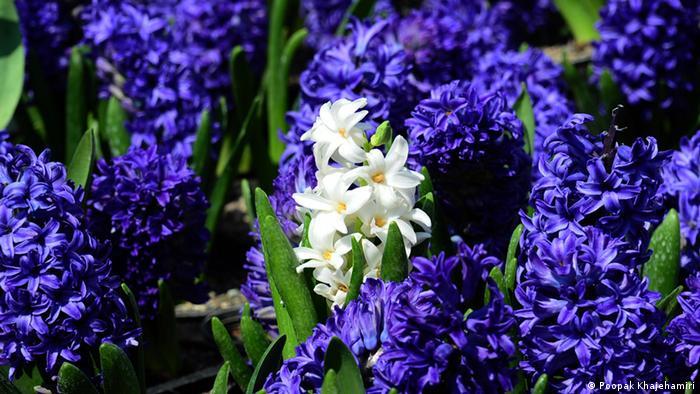 En la mitología griega, Jacinto era un héroe divino que según la leyenda más difundida, al morir se convirtió en la flor que lleva su nombre. Según el lenguaje de las flores, el jacinto significa constancia y cariño. Esta perfumada flor es procedente de Oriente Medio, pero está muy difundida en Europa gracias a las cuantiosas producciones en Holanda.