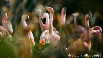 Фламинго в зоопарке Франкфурта