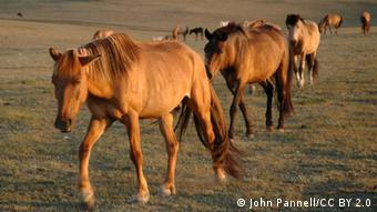 Horses belonging to Mongolian herders (Photo: John Pannell/CC BY 2.0)