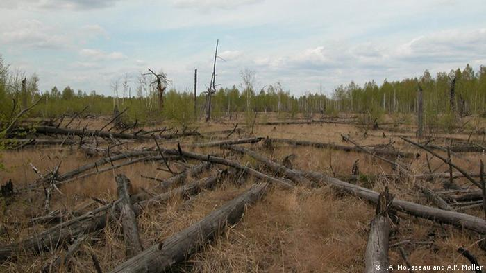 Trees on the ground in the Red Forest near Chernobyl in Ukraine (Photo: Mousseau & Moller)